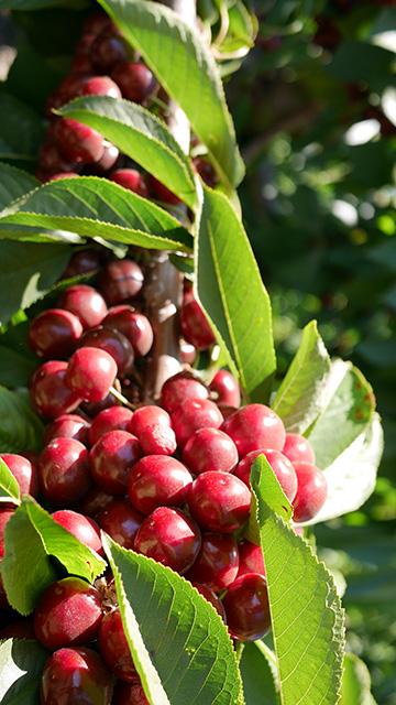 Sweetheart種の収穫で今年のチェリーシーズンも終了します