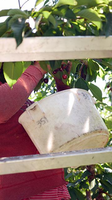 はしごを使い全て手作業で収穫します